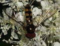 Meliscaeva auricollis (male) - Flickr - S. Rae.jpg