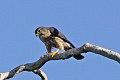 Merlin (Falco columbarius) (8082130401).jpg