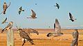Merlin From The Crossley ID Guide Raptors.jpg
