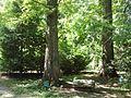 Metasequoia glyptostroboides Hu & W.C.Cheng.jpg