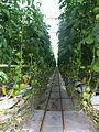 Mexican Hydroponic Tomato Facility (23464524469).jpg
