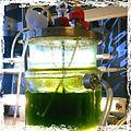 Microalgal reactor.jpg