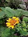 Microliabum mulgediifolium.jpg