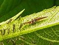Micromus.aphids.2.jpg