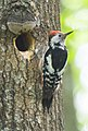 Middle Spotted Woodpecker (Dendrocopos medius) (14180463718).jpg