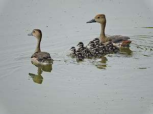 Lesser whistling duck - The chicks are patterned in black and white