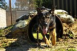 Military Working Dogs DVIDS258009.jpg