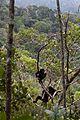 Milne-Edwards sifaka (Propithecus edwardsi) (15720094768).jpg