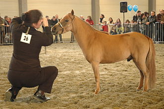 Miniature horse - Miniature horse at show in Europe