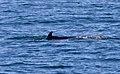 Minke whale 2 (6211084503).jpg