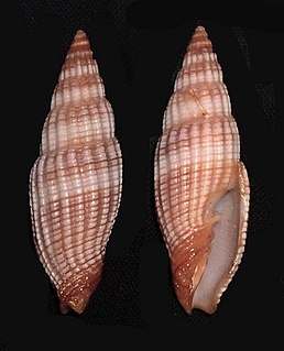 <i>Nebularia</i> genus of molluscs