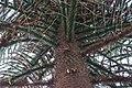 Monkey Puzzle (Araucaria araucana), Royal Botanic Gardens, Edinburgh - geograph.org.uk - 1638319.jpg
