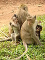 Monkeys - Angkor Wat - Cambodia.JPG
