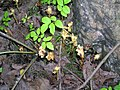 Monotropa hypopitys L. in flower and fruit.jpg
