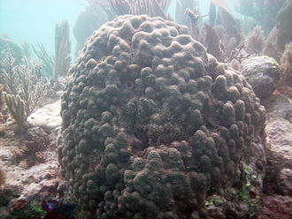 Florida Reef - Boulder star coral (Montastraea annularis) on Molasses Reef