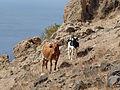 Monte Graciosa-Vaches (1).jpg