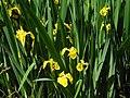 Moosschwaige Sumpfschwertlilie Foto M.Kandler 2016-05-29.jpg