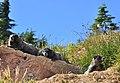 Mount Rainier - September 2017 - Hoary marmots 38 (cropped).jpg