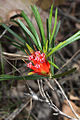Mountain Devil - Lambertia formosa (7779089760).jpg