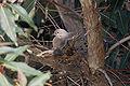 Mourning Dove 1.jpg