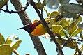 Mrs Gould's Sunbird Aethopyga gouldiae Bhutan by Dr. Raju Kasambe DSC 4609 (2).jpg