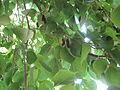 Mulberry Tree6.JPG