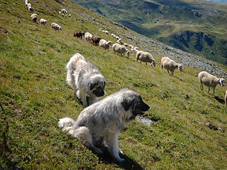 Šarplaninac - Šarplaninac guard sheep near Lake Peak in Kosovo.