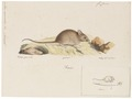 Mus musculus - 1700-1880 - Print - Iconographia Zoologica - Special Collections University of Amsterdam - UBA01 IZ20500057.tif