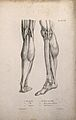 Muscles of the lower leg; two figures of écorché legs and fe Wellcome V0008192ER.jpg