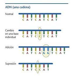 Mutación Genética Wikipedia La Enciclopedia Libre