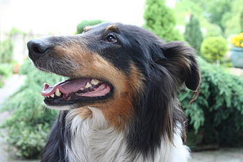 English: my dog - Rough Collie
