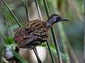 Myrmornis torquata - Wing-banded Antbird (male)), Carajas National Forest, Pará, Brazil.jpg