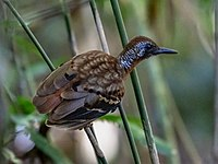 Myrmornis torquata - Wing-banded Antbird (male)), Carajas National Forest, Pará, Brazil.jpg