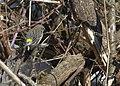 Myrtle Warbler (8504691859).jpg