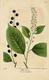 NAS-088 Prunus virginiana.png