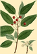 NAS-090g Prunus pensylvanica.png