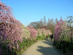 Weeping tree - Weeping Flowering Apricot