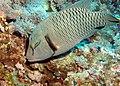 Napoleon Wrasse (or humphead wrasse), Cheilinus undulatus feeding at Big Brother Island, Red Sea, Egypt -SCUBA (6225978289).jpg