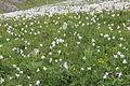 Narcissus radiiflorus (14334971273).jpg