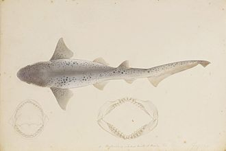 Broadnose sevengill shark - Painting by Kawahara Keiga