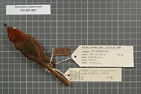 Description de l'image Naturalis Biodiversity Center - RMNH.AVES.18609 1 - Clytomyias insignis oorti Rothschild and Hartert, 1907 - Maluridae - bird skin specimen.jpeg.