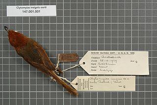 Orange-crowned fairywren species of bird