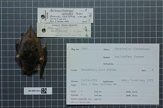 Schlieffens bat species of mammal