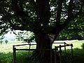 Naturdenkmal Hainbuche Döhren Melle -Unterm Baum- Datei 5.jpg
