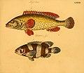 Naturgeschichte in Bildern mit erläuterndem Text (Taf. LXXXI) (6059218390).jpg