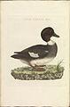 Nederlandsche vogelen (KB) - Bucephala clangula (310b).jpg