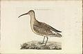 Nederlandsche vogelen (KB) - Numenius phaeopus (304b).jpg