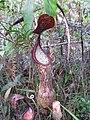 Nepenthes Mount Hamiguitan Range8.jpg