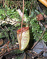 Nepenthes tenuis2.jpg