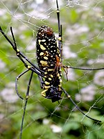 Mating Nephila pilipes